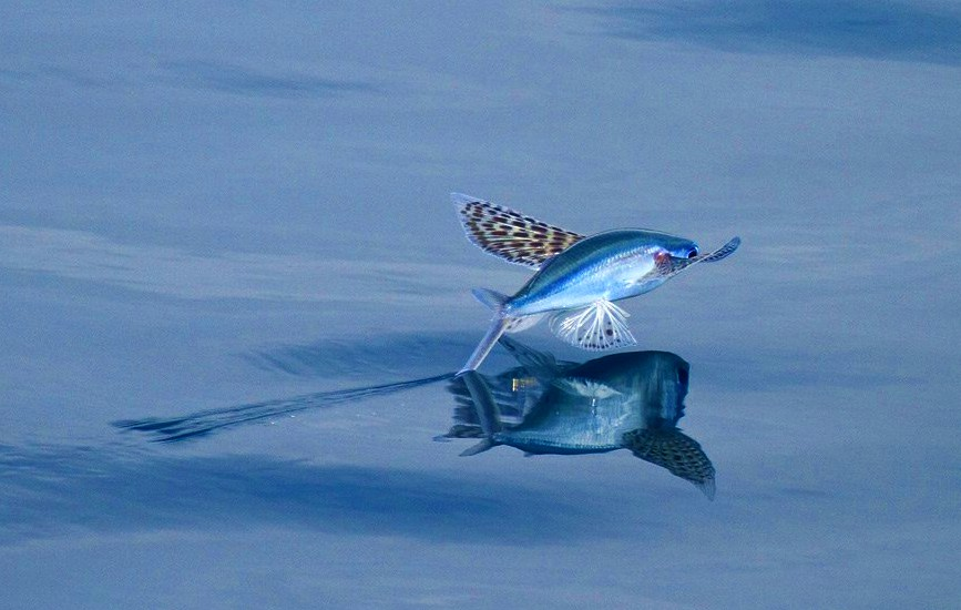 Revelations the life and death of flying fish for Flying fish images